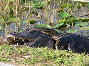 Luxury airboat Tour everglades